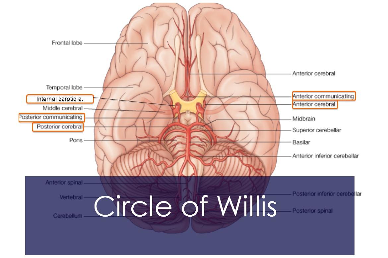 The Circle Of Willis (Circulus Arteriosus) Anatomy