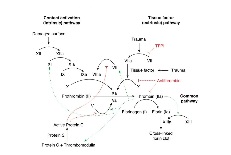 Coagulation Cascade and Hemostasis
