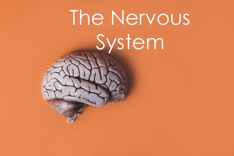 Central Nervous System Development